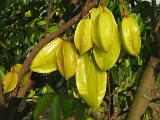What is carambola #1