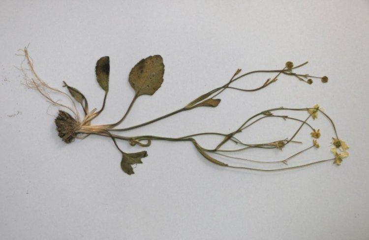 Tuz Gölü havzasında yeni bitki türü keşfedildi #1