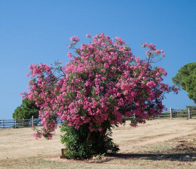 What is oleander #2