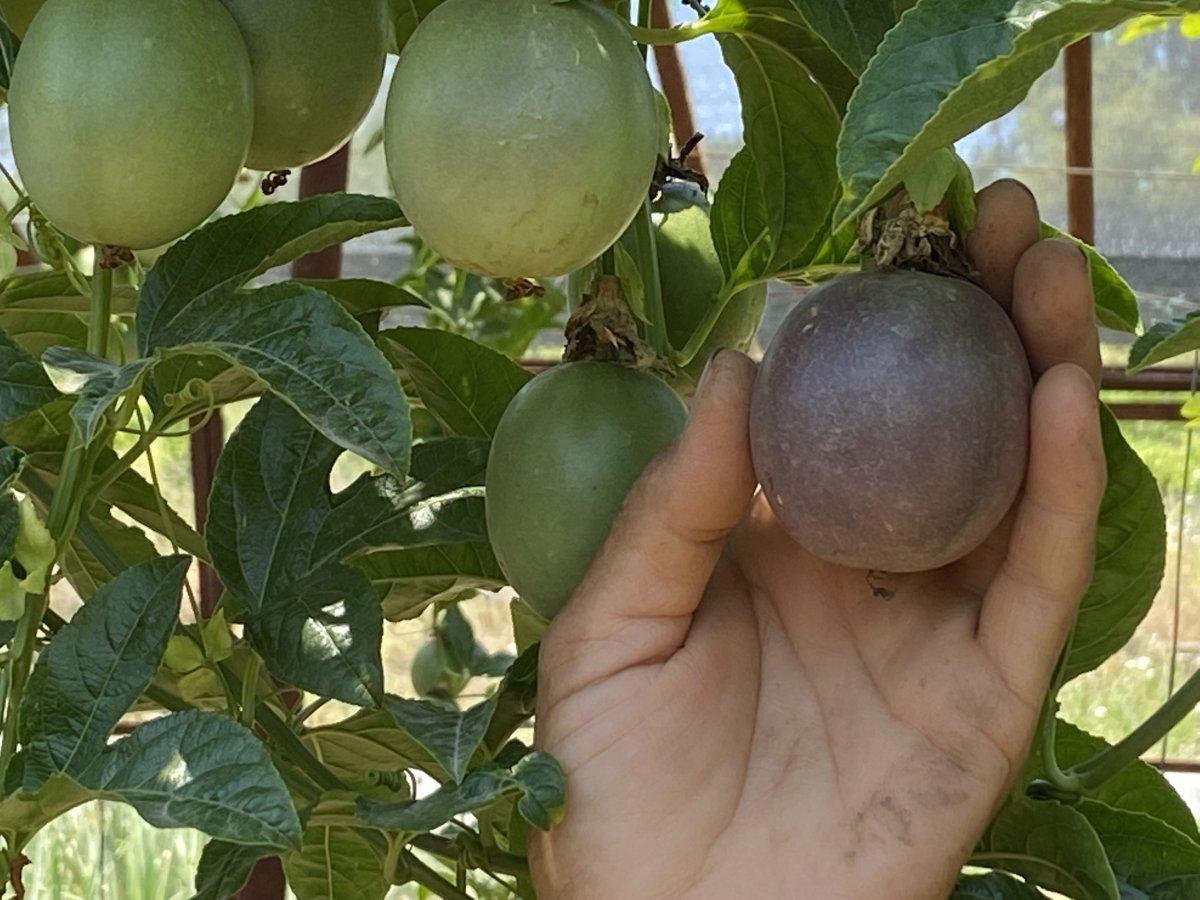 passiflora 5260