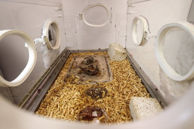 Bone-scavenging bugs of the Forensic morgue #6