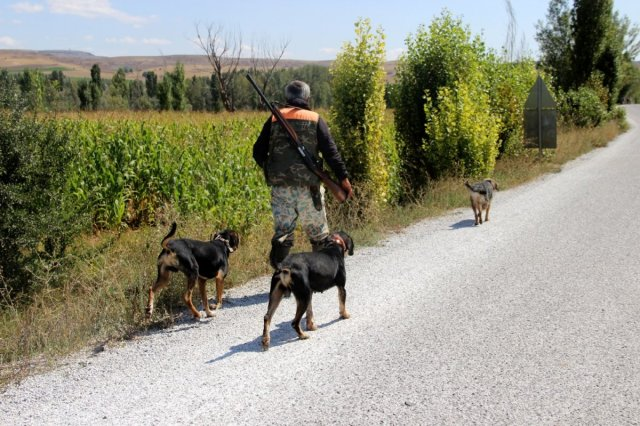 Sivas'ta domuzlar tarlaları talan etti, avcılar nöbet tuttu #2