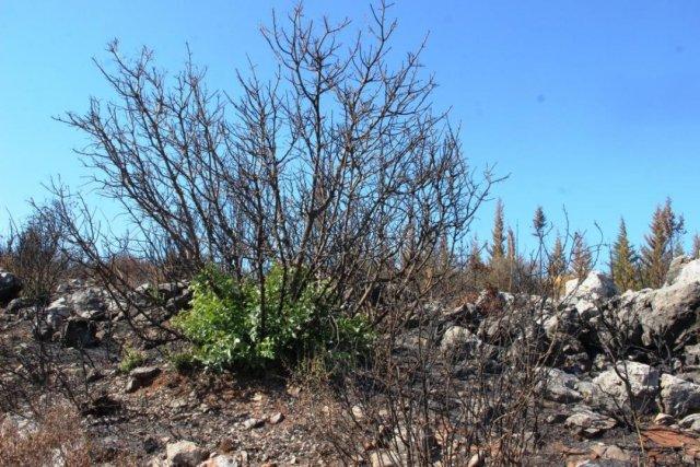 Bodrum'daki yangının ardından doğa kendini onarmaya başladı #8