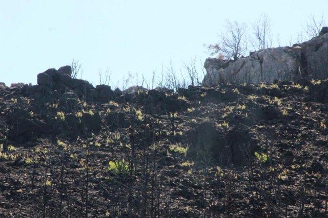 Bodrum'daki yangının ardından doğa kendini onarmaya başladı #2