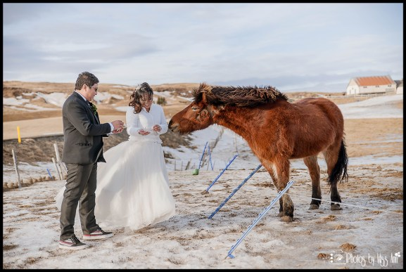 bride-and-groom-feeding-icelandic-horses-iceland-wedding-photographer