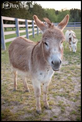 Donkeys at Eyry of the Eagle Farm Wedding