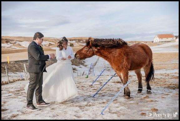 Bride and Groom Feeding Icelandic Horses Iceland Wedding Photographer