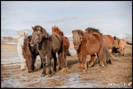 Icelandic Horses nearby ION Hotel Selfoss Iceland Wedding