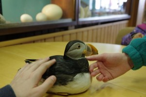 Petting a tame puffin!