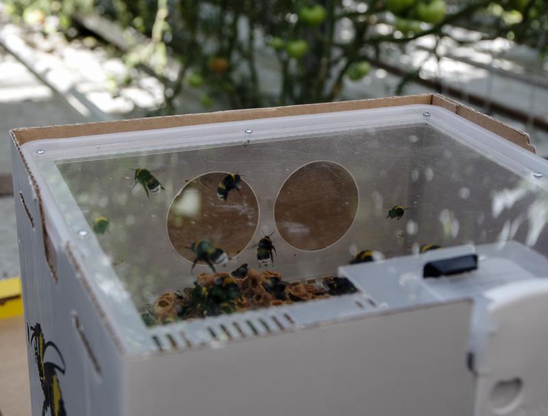 Friðheimar box o bees