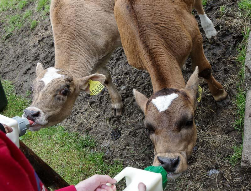 slakki feeding cows