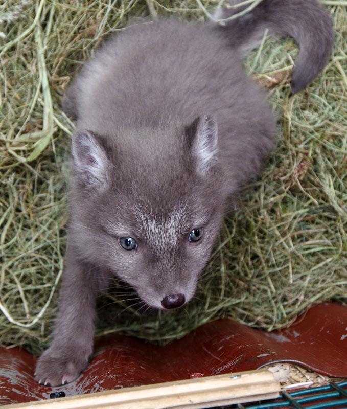 slakki fox