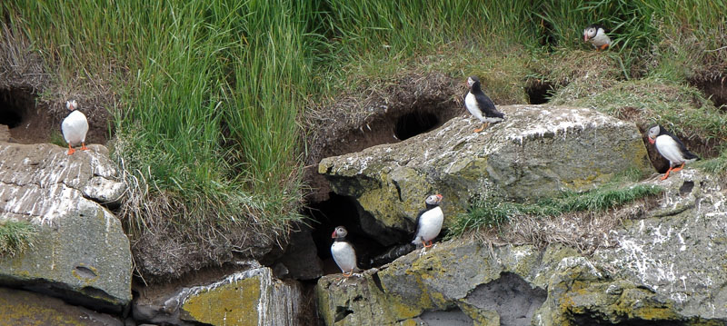 viking boat puffins