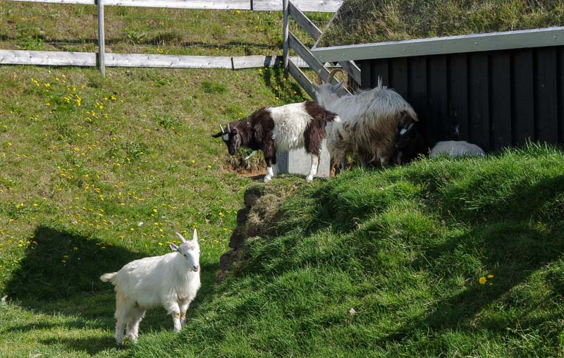 viking museum goats