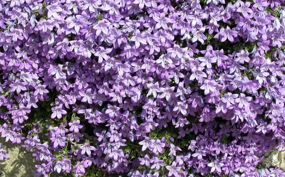 loddon-blue-flowers