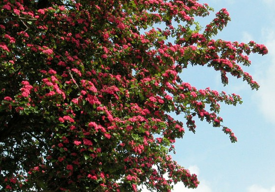 loddon-tree-bloom