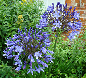 Raveningham-Gardens-Special-Agapanthus-560x509