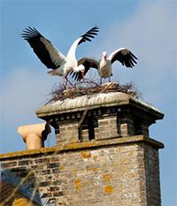 storks-nesting-at-thrigby