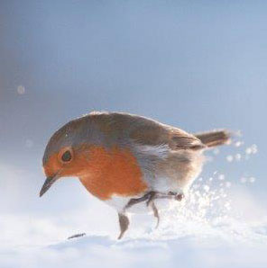 Big-Garden-Birdwatch-24-25-January-2015-robin