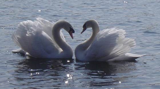 Valentines-Swans-from-Pensthorpe-Natural-Park