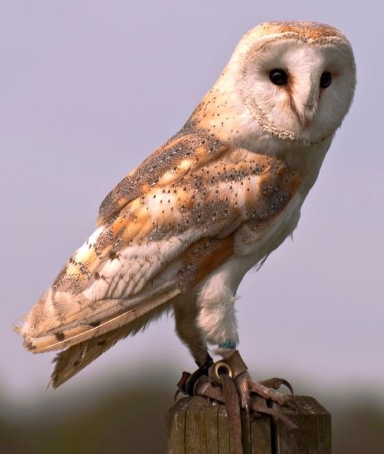 Barn-Owl-02