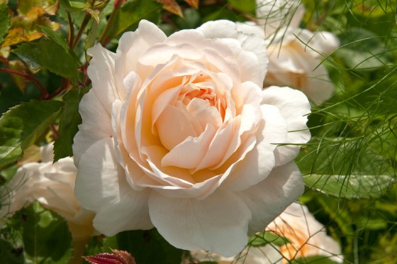 Rose Weeks Raveningham Gardens roses photo RHS Tim Sandall
