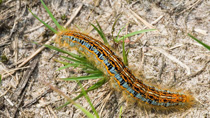suffolk-havergate-island-wildlife-caterpillar