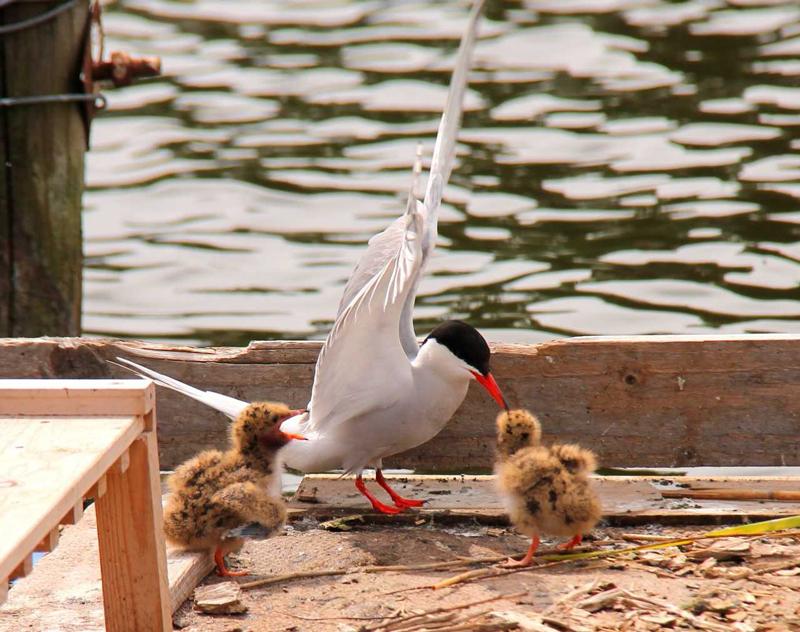 common tern chicks