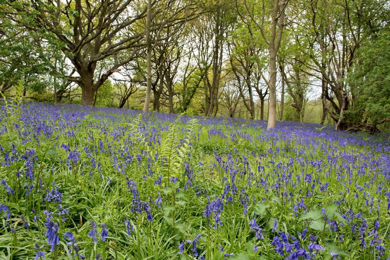 Bluebell Woodland sotshole broad