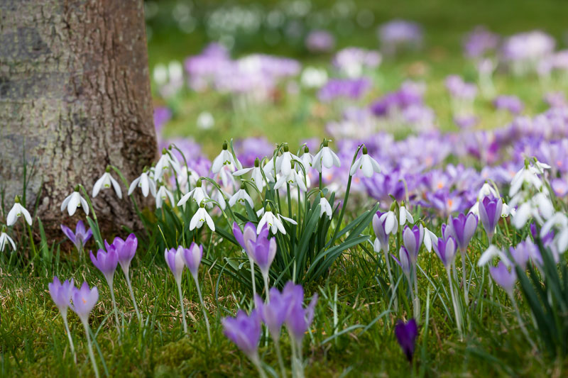 Chestnut Farm Crocus