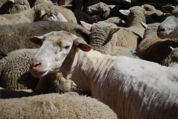 Bündner Schaf mit dem Rohmaterial, noch dran …
