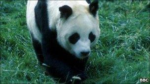 Giant panda Chi Chi (file image)