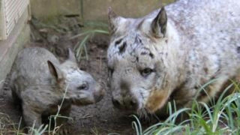 A joey and adult southern hairy-nosed wombat at Taronga Zoo in Sydney