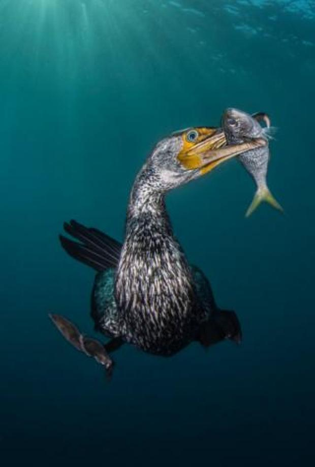 A cormorant with a fish in its mouth.