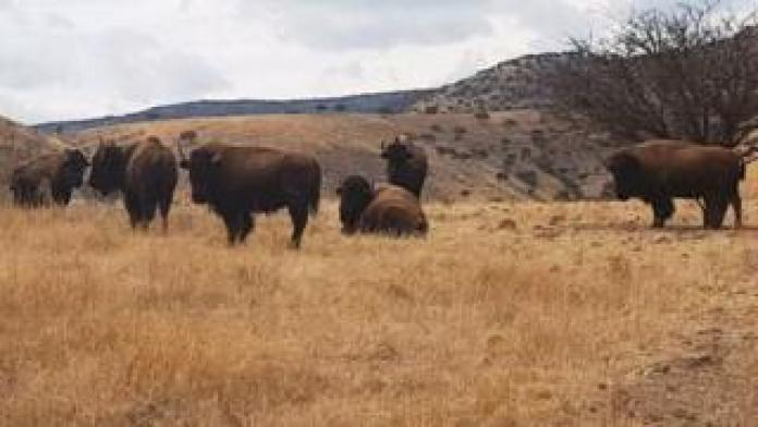 Buffalo graze on one of the ranches belonging to Mr Duarte