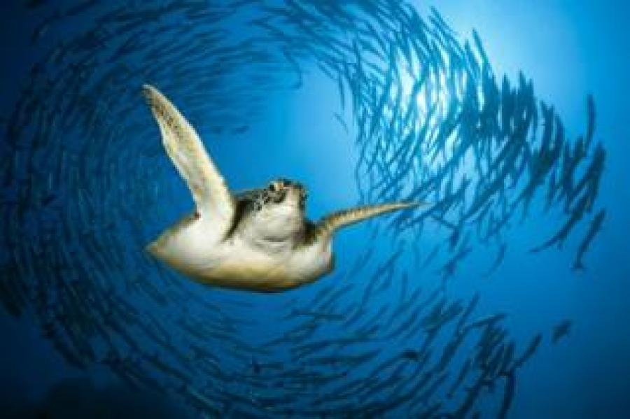 Green Sea Turtle (Chelonia mydas). Red Sea, Ras Mohammed, Egypt.