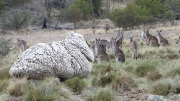 Kangaroos look at the camera behind one of the woolliest sheep in the world