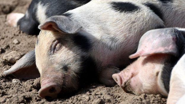 File photo: Pigs sleeping