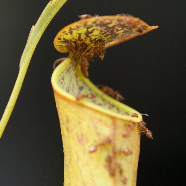 ants crawling on a pitcher plant leaf