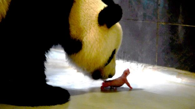 Photo taken on June 26, 2016 shows the giant panda Xin Xin and her first newly-born cub in Macau.