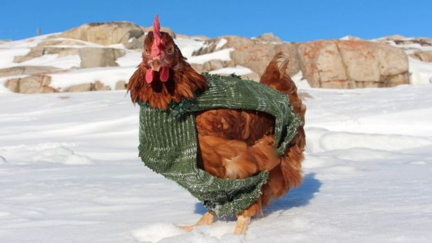 Monique the hen standing on snow and wearing a jacket in Greenland