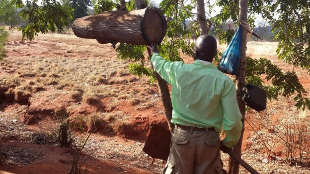 Beekeeper in the Kenyan mountains checking a beehive