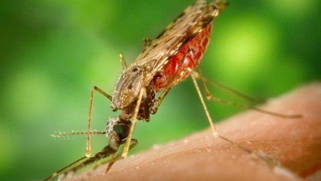 mosquito chupando sangre.