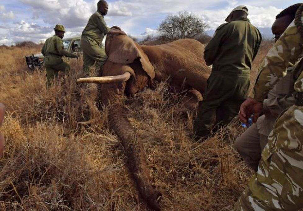 Veterinarians and park rangers attend to a sedated elephant outside Amboseli National Park on November 2, 2016.