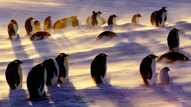 Penguins in a blizzard