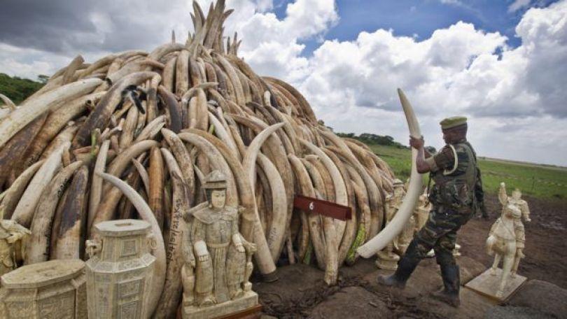Guarda com presas de elefante