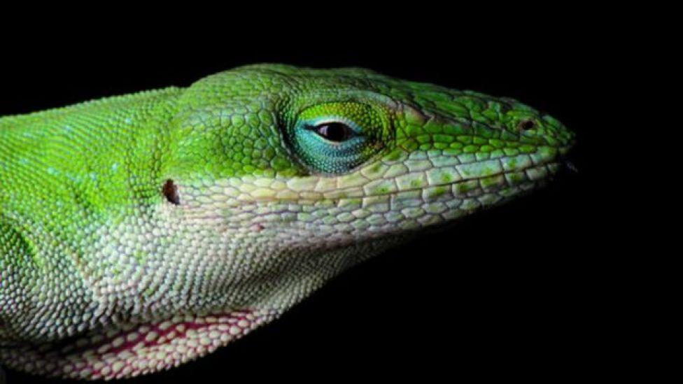 Lagartixa anolis verde