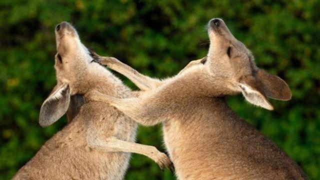 اثنان من حيوانات الكنغر الشرقي الرمادي يتبادلان اللكمات