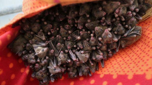 Murciélagos egipcios de la fruta
