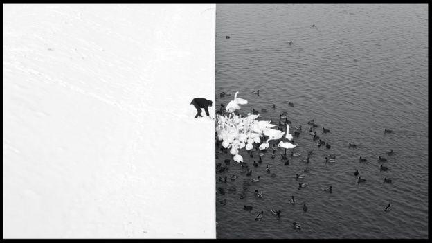Hombre alimentando cisnes